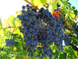 отдушка Виноградная лоза
